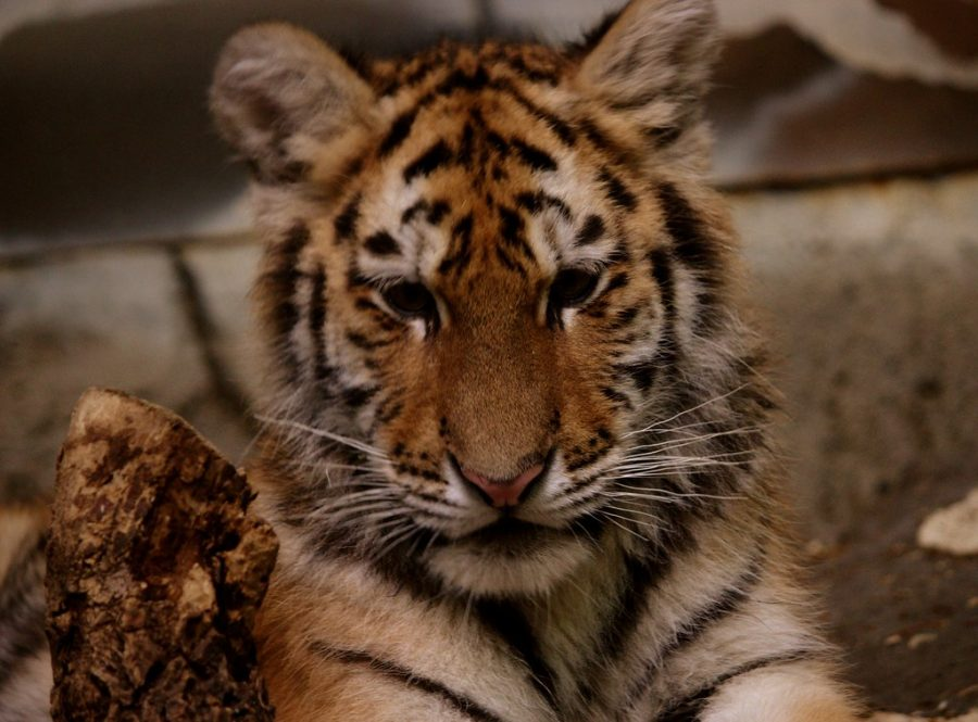 Tiger Cubs: Murch Elementary